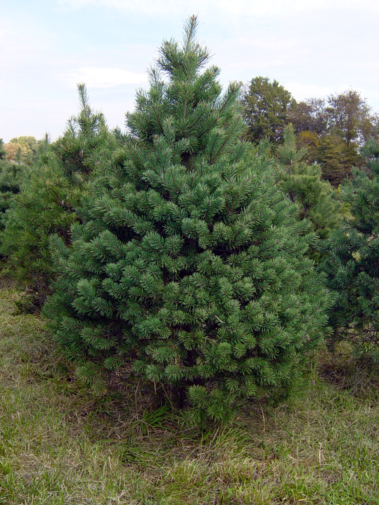 Image result for scotch pine